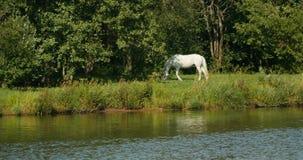 Pojedynczy białego konia pasanie zdjęcie wideo