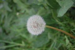 Pojedynczy biały dandelion i zielona trawa fotografia stock