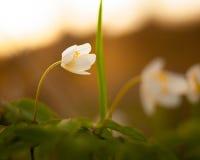 Pojedynczy biały kwiat obraz royalty free