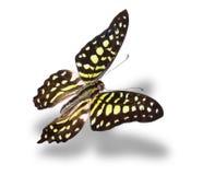 pojedynczy białego motyla Obrazy Stock