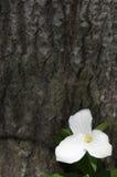Pojedynczy Biały Trillium Obraz Royalty Free