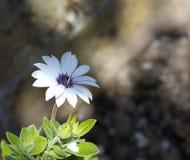Pojedynczy bielu ogródu kwiat Obrazy Royalty Free