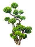 pojedynczy bonsai drzewny white Zdjęcie Stock
