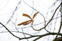 Pojedynczy brown marple liść Zdjęcia Royalty Free