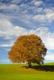 Pojedynczy bukowy drzewo przy spadkiem Fotografia Stock