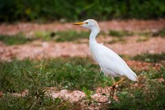 Pojedynczy bydła Egret kroczyć dumnie fotografia royalty free