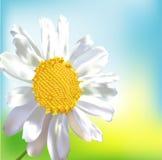 pojedynczy chamomile kwiat Zdjęcie Stock