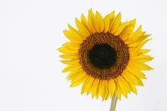 pojedynczy copyspace słonecznik Fotografia Stock