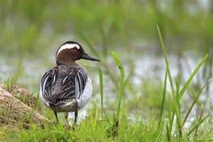 Pojedynczy cyranki kaczki ptak na trawiastych bagnach w wiosna sezonie Obraz Royalty Free