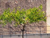 Pojedynczy cytryny drzewo Zdjęcia Stock