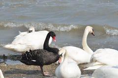Czarny i biały łabędź Fotografia Royalty Free