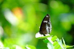 Pojedynczy czarny tropikalny motyli obsiadanie na liściu przy parkiem zdjęcia royalty free