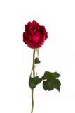pojedynczy czerwoną różę white Fotografia Royalty Free