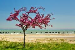 Pojedynczy czerwony drzewo na jezioro michigan Zdjęcie Stock