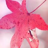 Pojedynczy czerwony jesień liść Fotografia Royalty Free