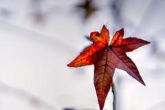 Pojedynczy czerwony liść w jesieni na lekkim tle Obrazy Stock