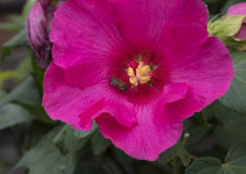 Pojedynczy czerwony poślubnika kwiat z miodową pszczołą w jaskrawym świetle słonecznym Obrazy Royalty Free