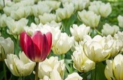 Pojedynczy czerwony tulipan na tle biel obrazy stock