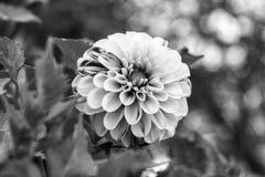 Pojedynczy dalia kwiat z bielu i menchii płatkami na tle zieleni drzewa obraz royalty free