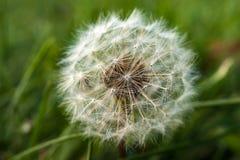 Pojedynczy dandelion na zielonym tle w wczesnym spadku Fotografia Stock