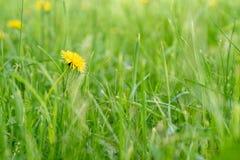 Pojedynczy dandelion w zielonej trawie Zdjęcie Stock