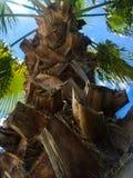 Pojedynczy drzewko palmowe pod niebieskim niebem obraz stock