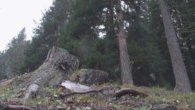 Pojedynczy drzewny karcz zdjęcie wideo