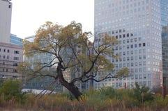 Pojedynczy Drzewny Zelkova serrata jako ocalały urbanizacja po raz ostatni ja zdjęcia stock