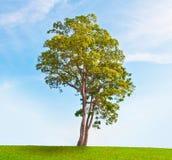pojedynczy drzewo Obraz Stock