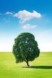 Pojedynczy drzewo, drzewo w polu Zdjęcie Stock