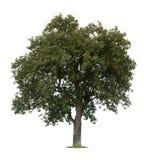 pojedynczy drzewo jabłka Obraz Royalty Free