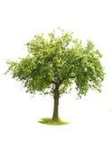 pojedynczy drzewo jabłka Obrazy Royalty Free