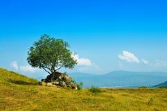 Pojedynczy drzewo oliwne Obrazy Stock