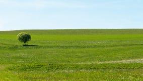 Pojedynczy drzewo stoi samotnie w zielonej łące obraz stock