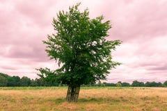 Pojedynczy drzewo w otwartym polu z różowym chmurnym niebem Fotografia Royalty Free