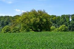 Pojedynczy drzewo w polu z lasem w tle, Essen Zdjęcia Stock