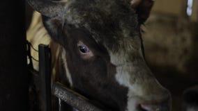 Pojedynczy duży brzydki brudny byk patrzeje kamerę podczas gdy jedzący w paśniku Byk na gospodarstwie rolnym zbiory wideo
