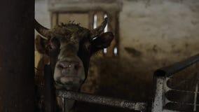 Pojedynczy duży brzydki brudny byk patrzeje kamerę podczas gdy jedzący w paśniku Byk na gospodarstwie rolnym zdjęcie wideo