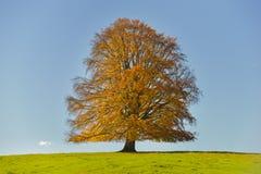 Pojedynczy duży bukowy drzewo Zdjęcia Stock