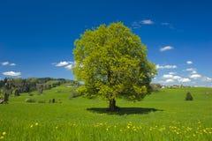 Pojedynczy duży bukowy drzewo Obrazy Royalty Free