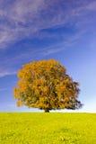 Pojedynczy duży bukowy drzewo Zdjęcie Stock