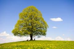 Pojedynczy duży lipowy drzewo Obraz Stock