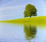 Pojedynczy duży stary bukowy drzewo Obrazy Royalty Free