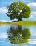 Pojedynczy duży stary bukowy drzewo Zdjęcie Stock