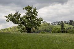 Pojedynczy Du?y Stary Lipowy drzewo z dramatycznym nieba t?em obrazy royalty free