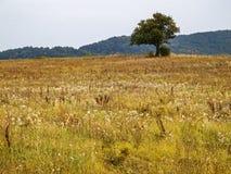 Pojedynczy dziki śliwkowy drzewo w jesieni nieuprawnym polu zdjęcie stock