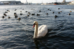 Pojedynczy dziki biały łabędź w żeglownym rzecznym biednym mieście Zdjęcie Stock