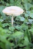 Pojedynczy dziki pieczarkowy dorośnięcie w zielonej trawie Obrazy Stock