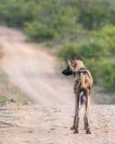 Pojedynczy Dziki pies Zdjęcie Royalty Free