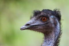 Pojedynczy emu Fotografia Stock